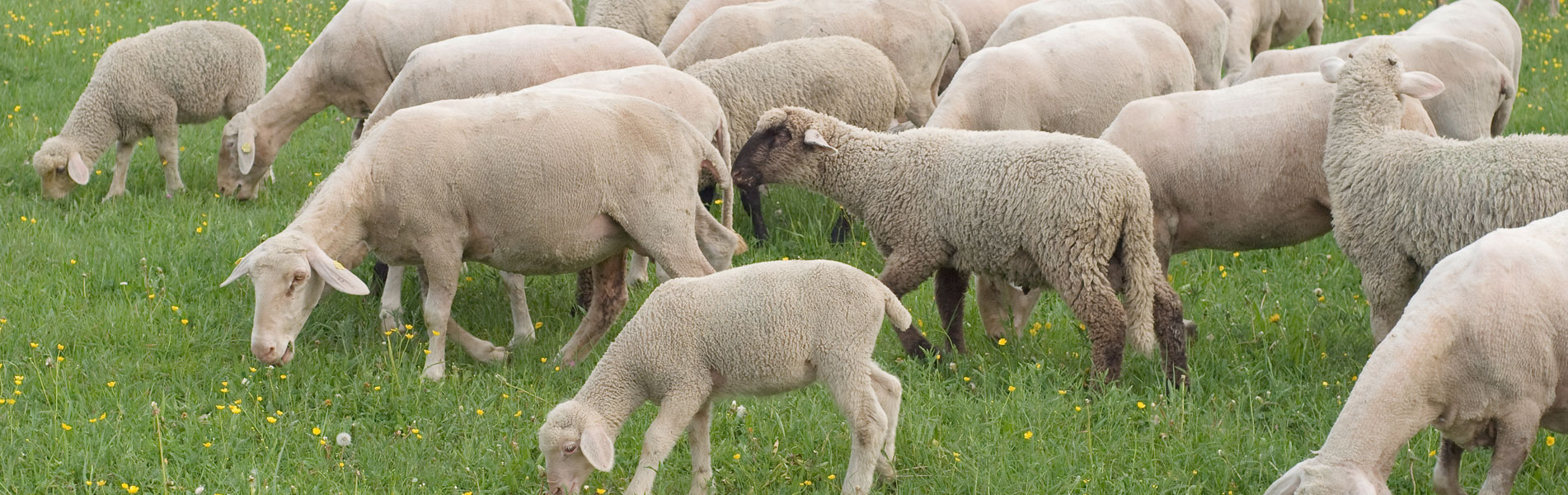 sheep-feed-1920x600_banner